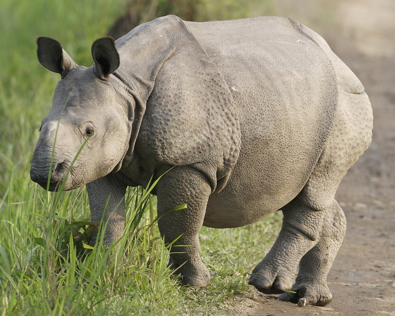 A rhino cub in Assam State's Kaziranga National Park, which hosts around two thirds of the world's greater one-horned rhinos. Credit: Lip Kee/Flickr CC-BY-SA.