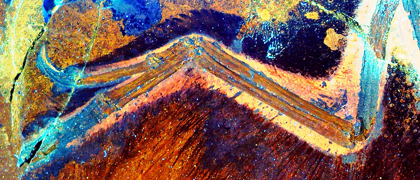 The wing of the bird-like feathered dinosaur Anchiornis is pictured under laser-stimulated fluorescence in this undated handout photo obtained by Reuters February 28, 2017. The folds of skin in front of the elbow and behind the wrist (called patagia) were covered in feathers, just like in modern living birds. Credit: Xiaoli Wang, Michael Pittman et al/Reuters