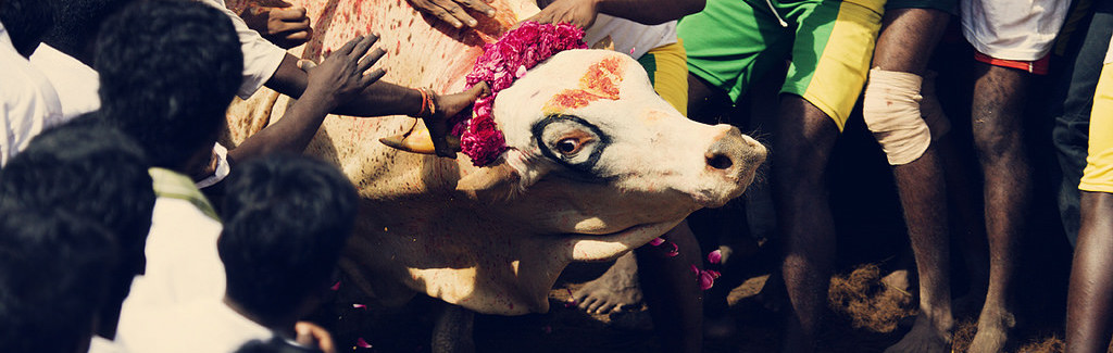 Jallikattu as an Opportunity to Improve How India Conserves Its Indigenous Cattle Breeds