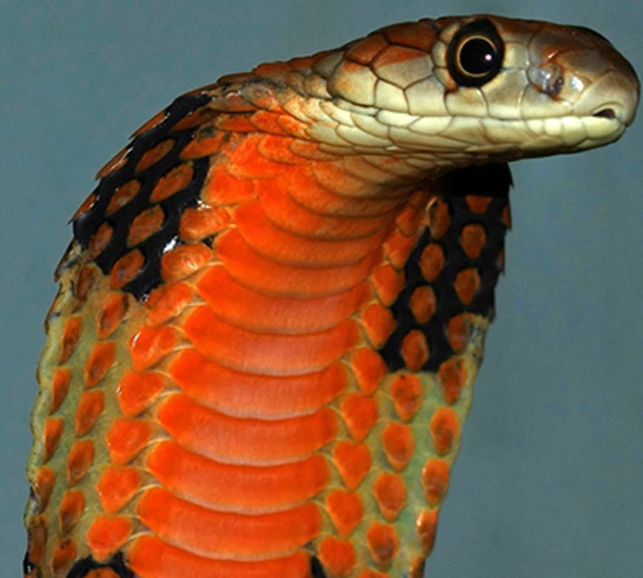 The Malayan population of king cobras, with a bright orange throat, has the highest cytotoxicity of king cobras tested in the study. Credit: Kevin Messenger