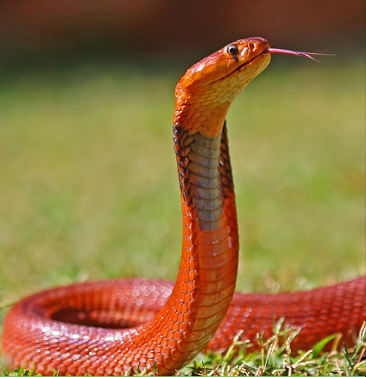 Red-spitting cobras dispense with markings in favour of a scarlet coloration. Credit: Wikimedia Commons