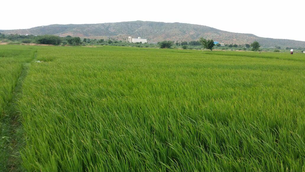 Paddy fields near Kadappa, Rayalaseema. Credit: Wikimedia Commons