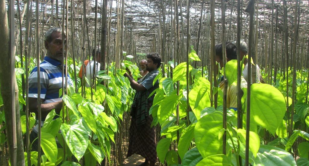 A betel leaf vineyard in Jagatsinghpur district of Odisha. Credit: Basudev Mahapatra/Village Square