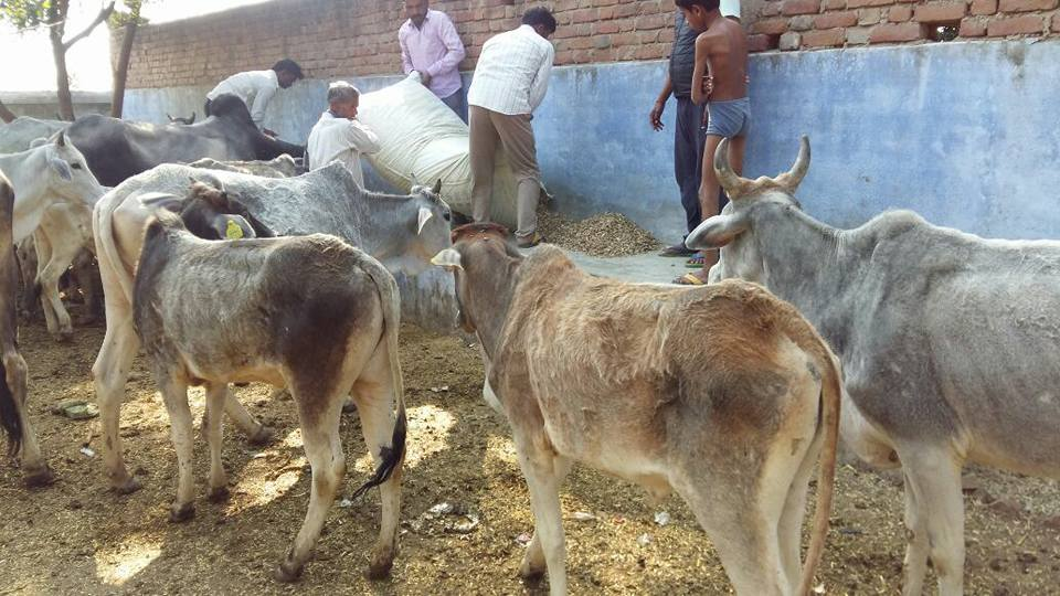 Animal rights activists feeding cows in one of the enclosures in Mahoba. Credit: Abhinav Srihan/Facebook