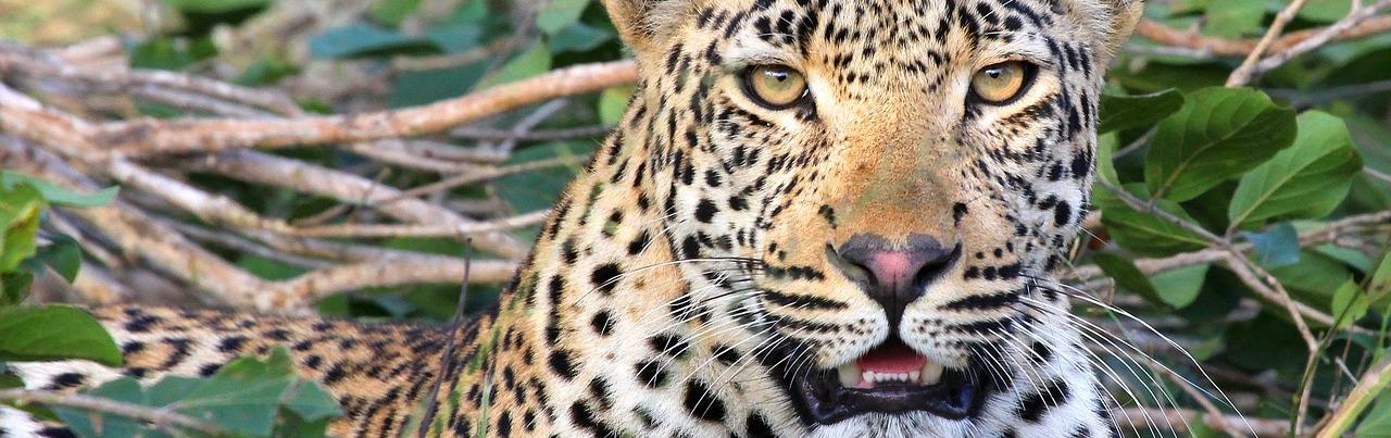 leopard-1036455_1280
