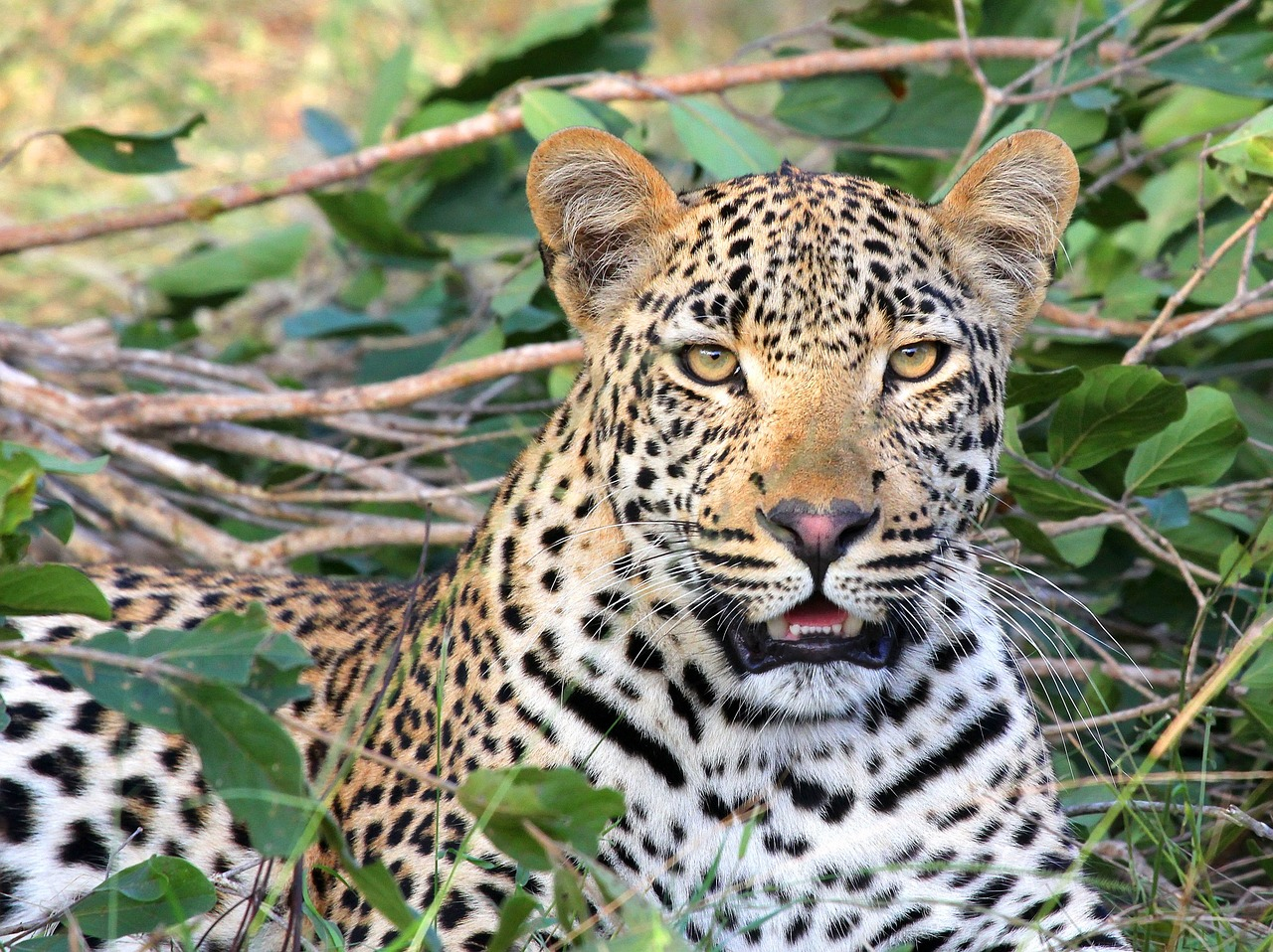 Is Environment Ministry Being Honest About Leopard Poaching Numbers?