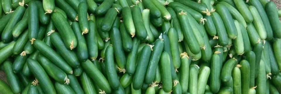 Cucumbers from Neerudu's crop. Credit: Santosh Addagalla