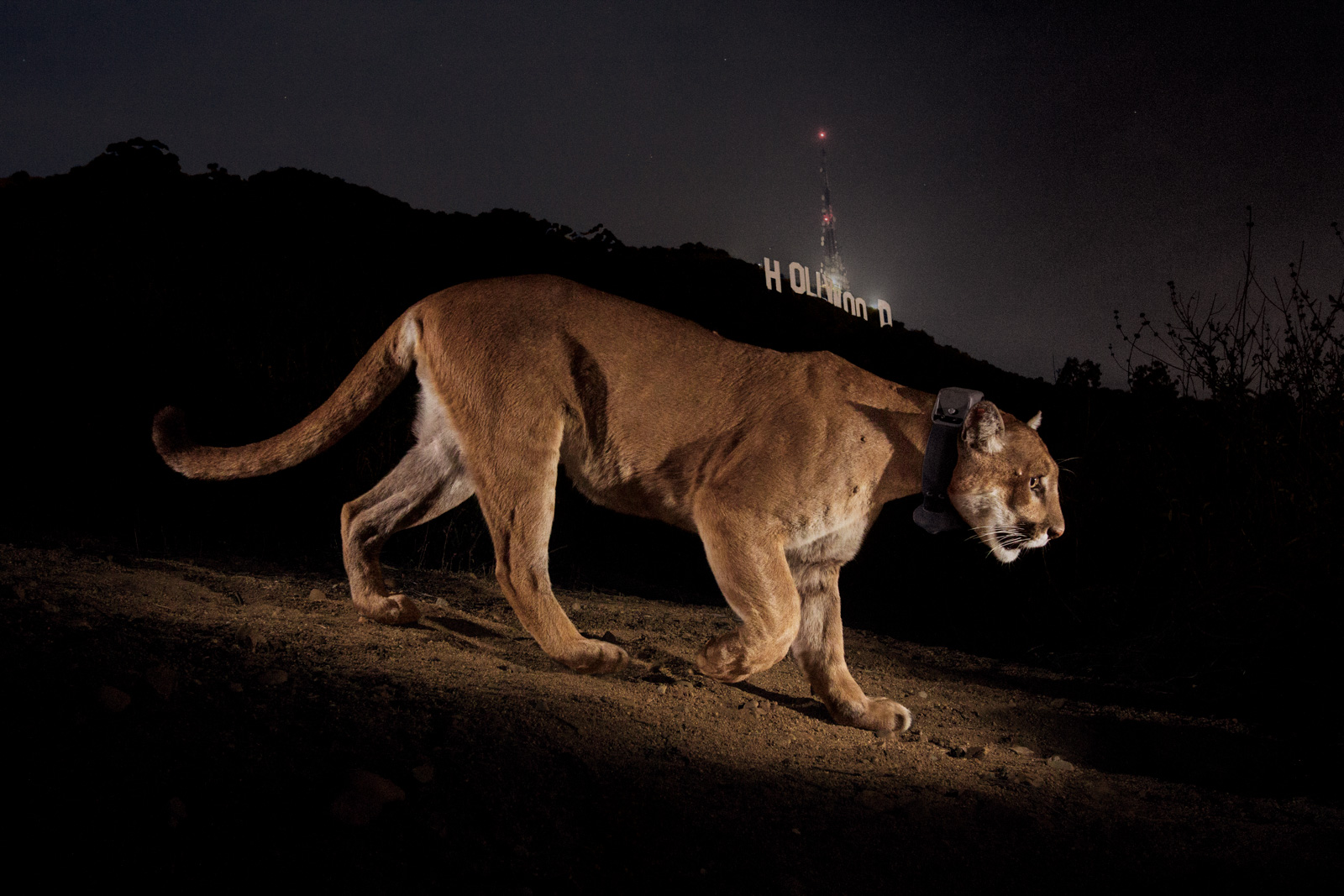 A remote camera captures a radio-collared cougar in Griffith Park. © Steve Winter
