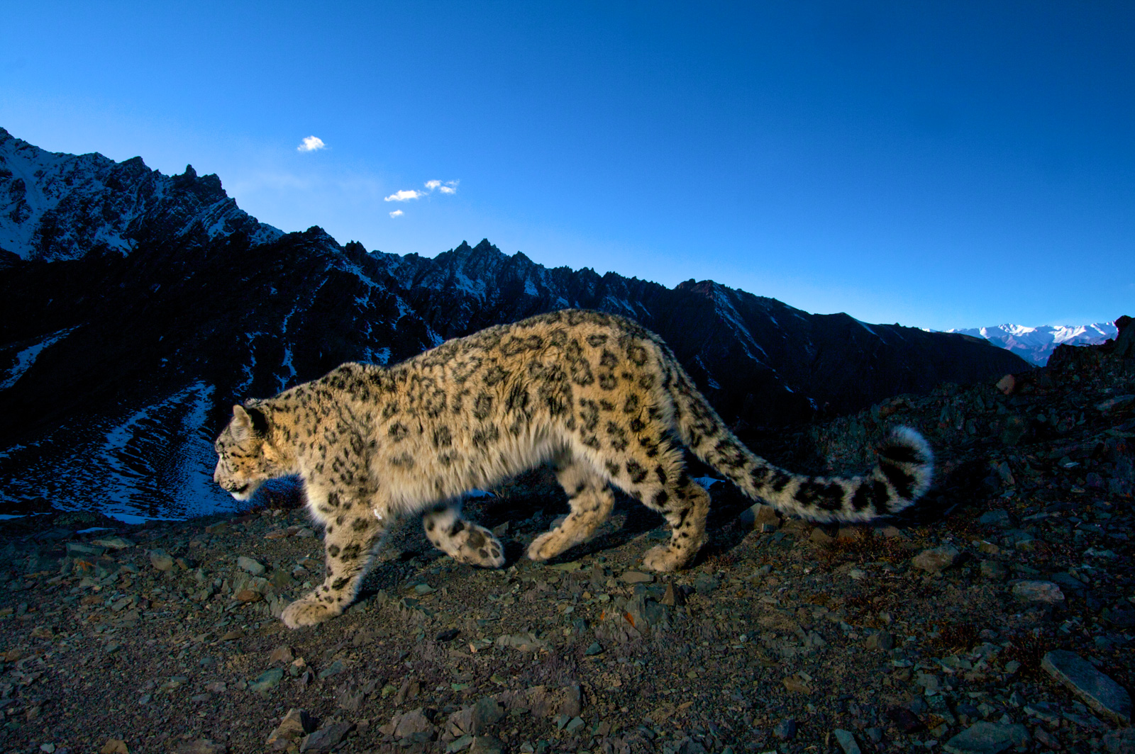 Camera trap 4 – the highest on the Kharlung Ridge. © Steve Winter