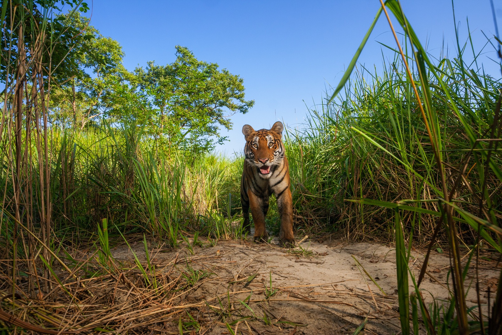 Tigers live in perhaps the highest density in Kaziranga National Park of any place in India. In other national parks in India, tigers are in greater peril, but poachers here tend to target the Indian one-horned rhinos instead. Here, a young male emerges from the elephant grass. © Steve Winter