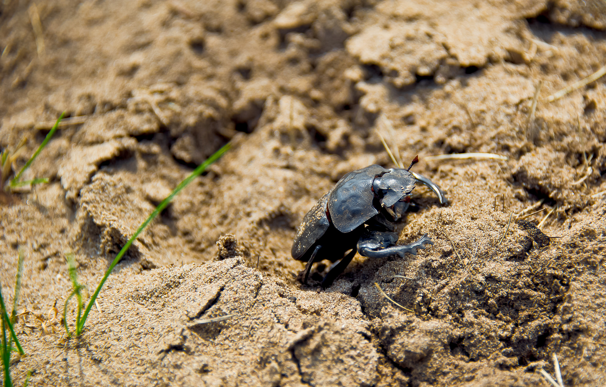 A dung beetle crawling. Credit: wildlife_encounters/Flickr, CC BY 2.0