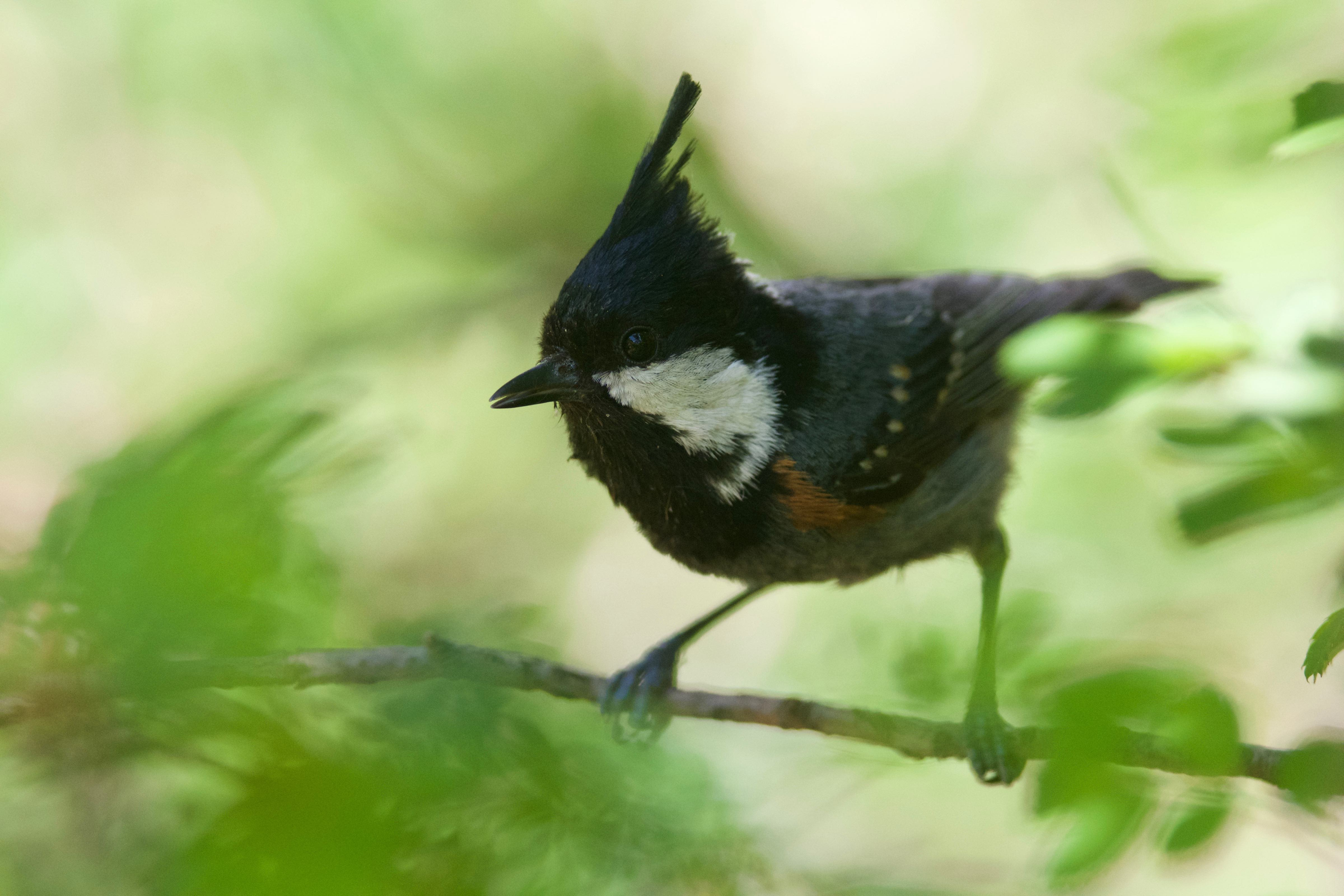 A spot-winged tit (Periparus melanolophus), a species found to be limited by habitat in the mixed coniferous forest, Great Himalayan National Park. Credit: Paul Elsen.