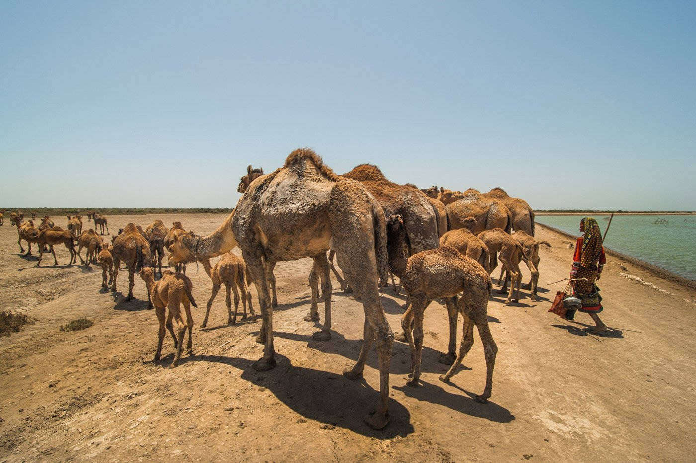 Jat Haseena walking with her herd of Kharai camels in search of water. Every year during the peak of summer, food and water are so scarce that the family changes their location almost every alternate day. Credit: Ritayan Mukherjee/PARI