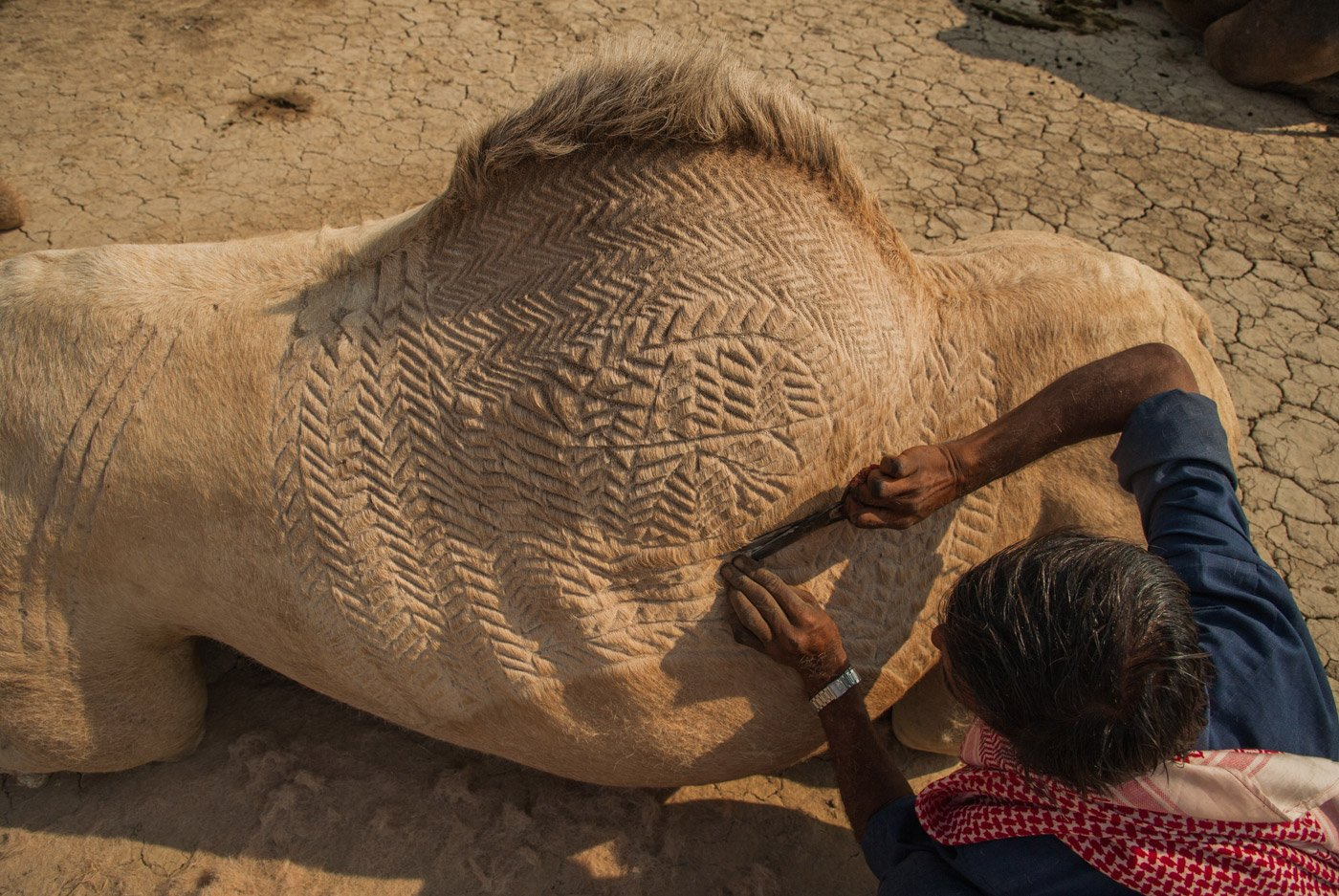 Camels are usually sheared once or twice a year just before the summer – the herders use scissors to do the elaborate shearing themselves. Credit: Ritayan Mukherjee/PARI