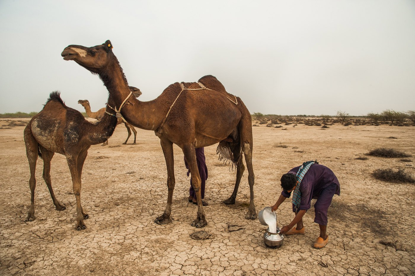 Camel milk along with rotlo (bread made of wheat and bajra) and tea usually make a meal in a Fakirani Jat family. A full-grown female camel can produce 10-12 litres of milk every day. Credit: Ritayan Mukherjee/PARI
