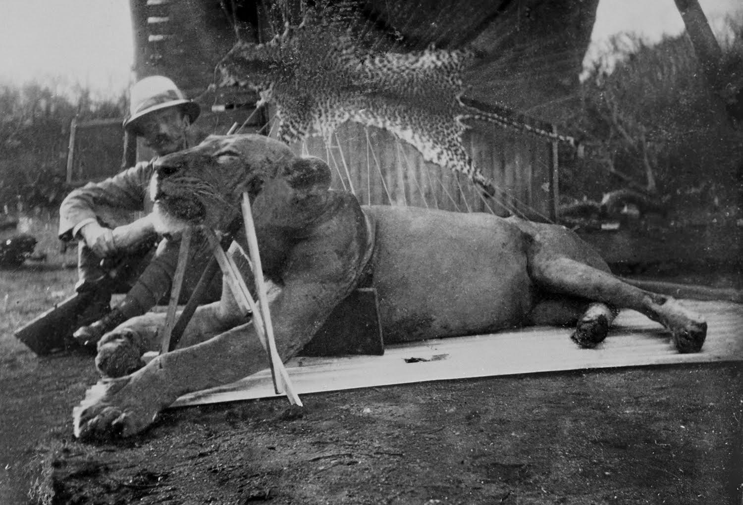 John Patterson with one of the man-eating lions of Tsavo. Credit: The Field Museum