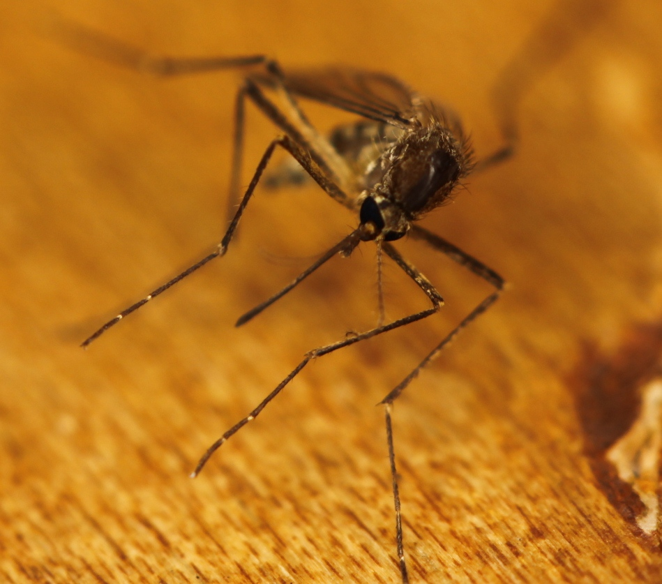 Distinguishing between facts and fiction surrounding malaria and mosquitoes. Credit: Eli Christman/ Flickr, CC BY 2.0