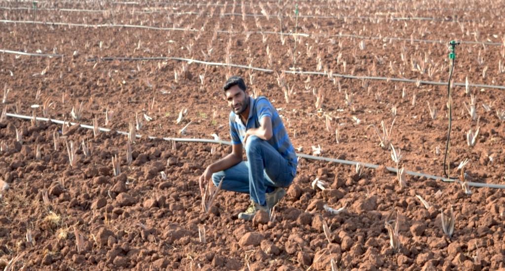 Rows of aloe vera fed through drip irrigation. Credit: Hiren Kumar Bose