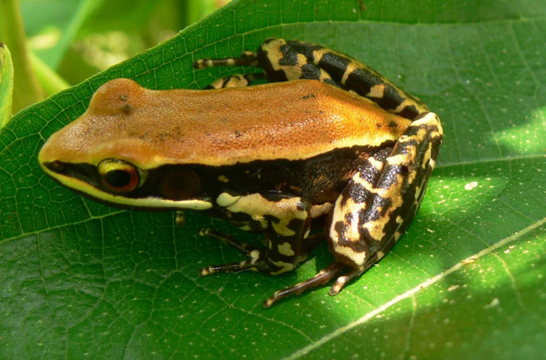 The widespread fungoid frog. Source: ISSN 0974-7907