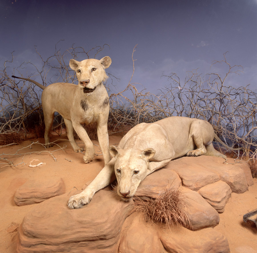The Tsavo lions. Credit: John Weinstein, The Field Museum