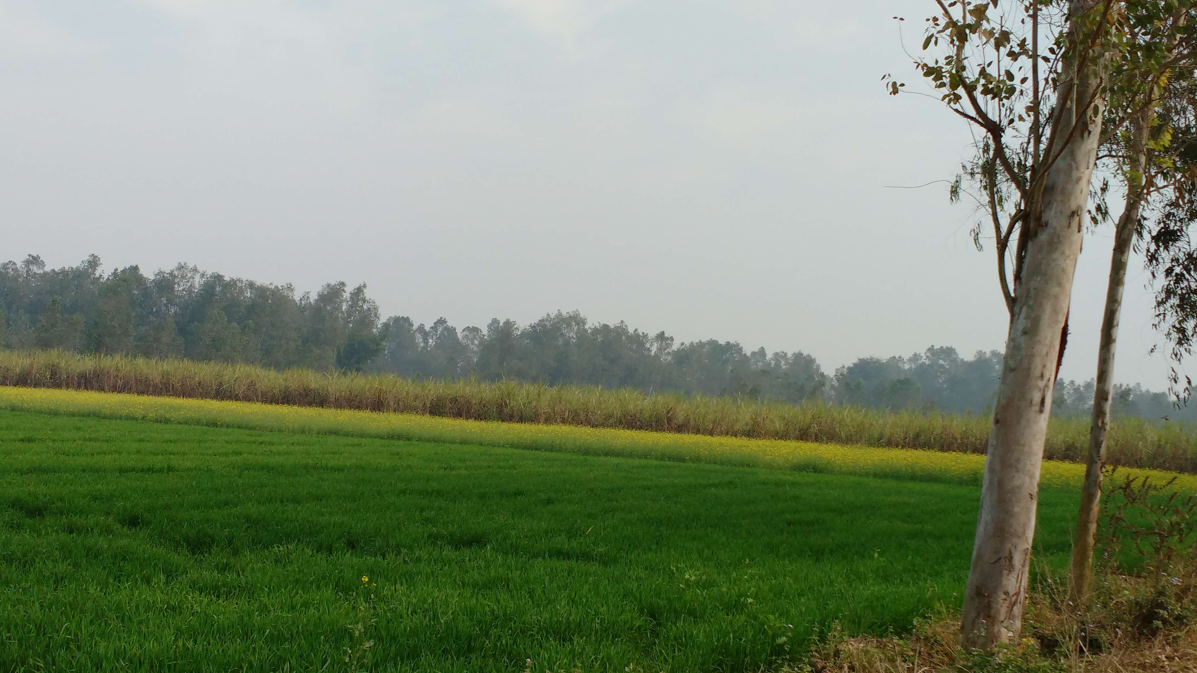 Fields with wheat, mustard and sugarcane crops in Bareilly. Credit: Rajan Pandey