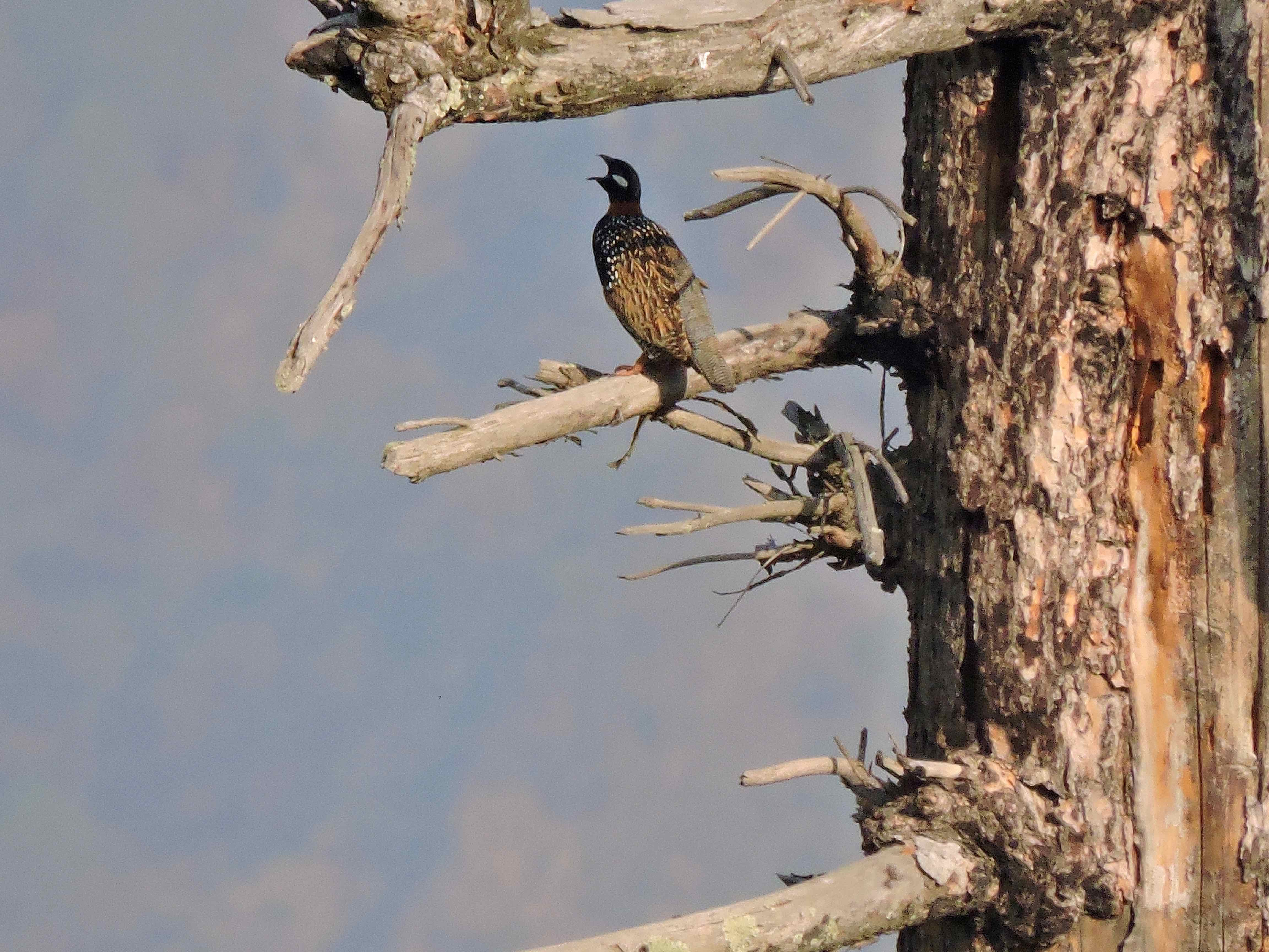 A black francolin photographed singing at 2,650 m in the areas surrounding the Great Himalayan National Park, Kullu. Credit P. Negi