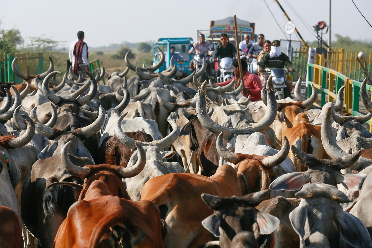 Moo Outta the Way: Gujarat Researchers Build 'Cow Avoidance' System for Cars