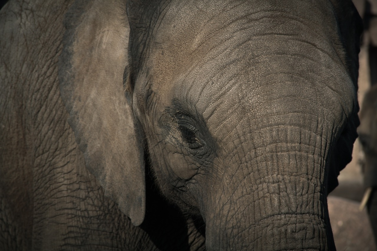 Elephants prefer to stay within forested areas during the day and stray out only after dusk. Credit:seth0s/pixabay