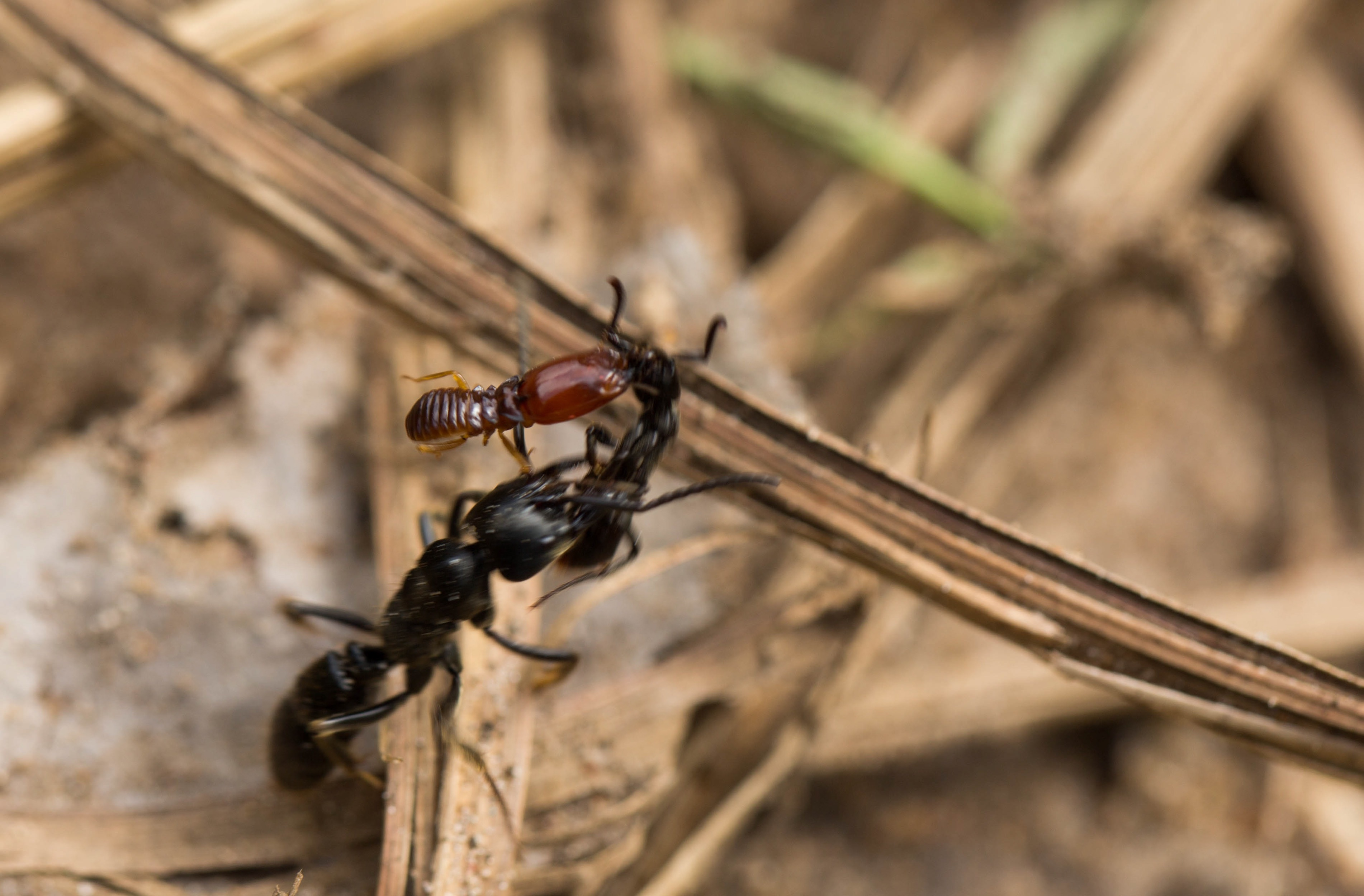 An ant handicapped by a clinging termite is carried off by a foraging African stink ant. Credit: Erik Frank