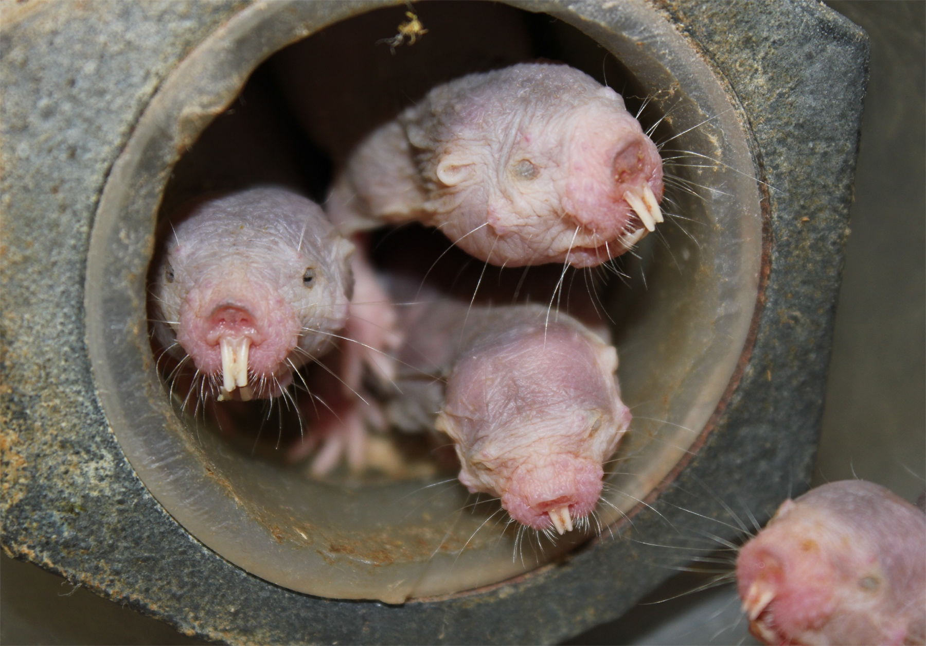Naked Mole Rats Might Love Their Queen's Pups Because They've Eaten Her Poop