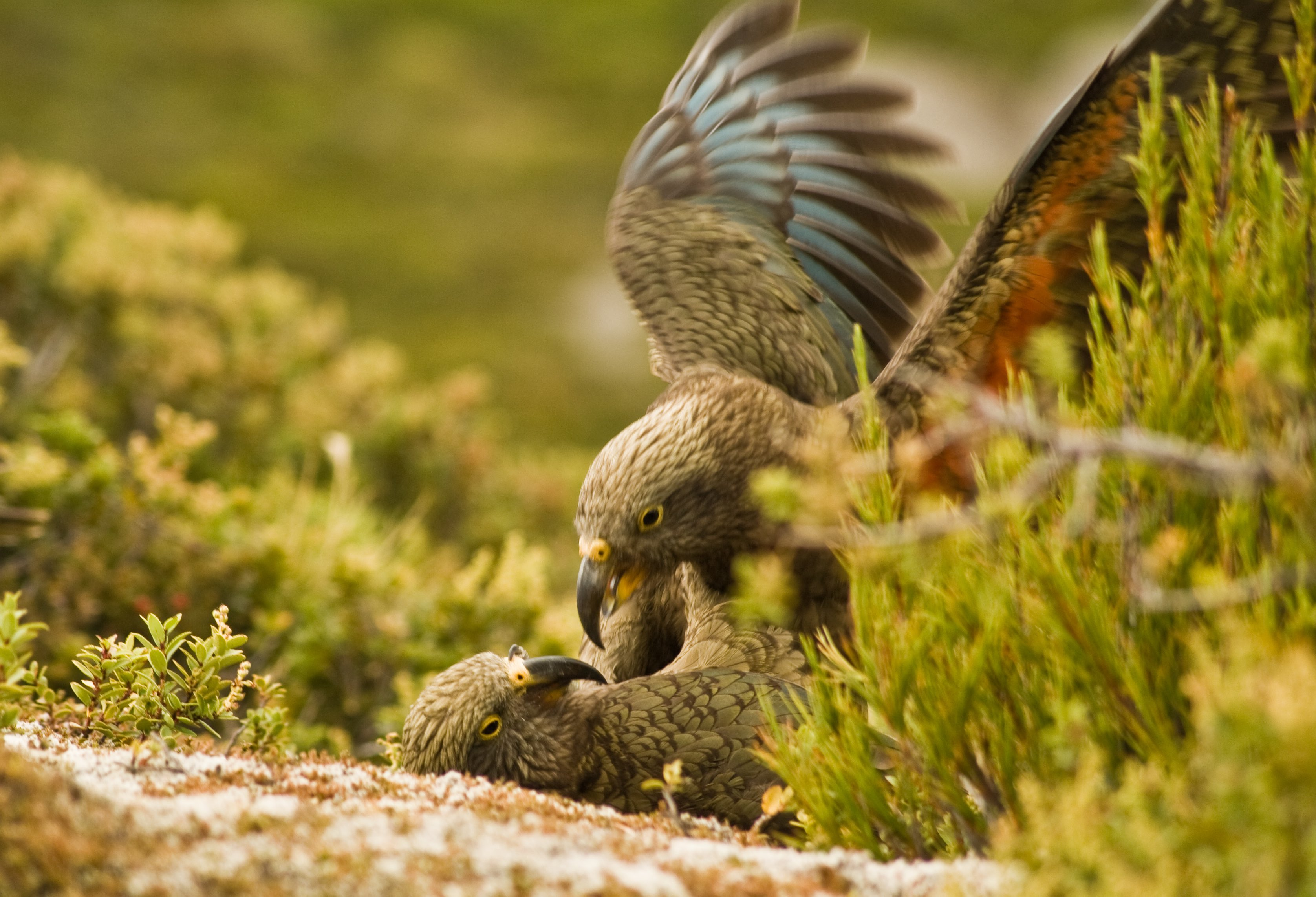 Kea at play. Credit: Raoul Schwing