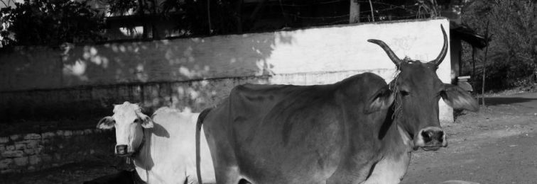 Photo Essay: Cow, a Holy Creature Meant for Profit