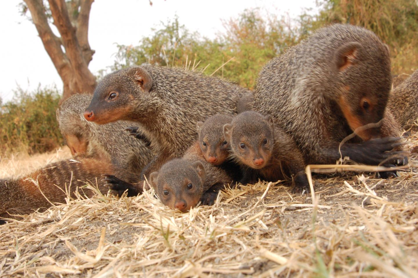 Mongoose pups are raised communally. Credit: Harry Marshall