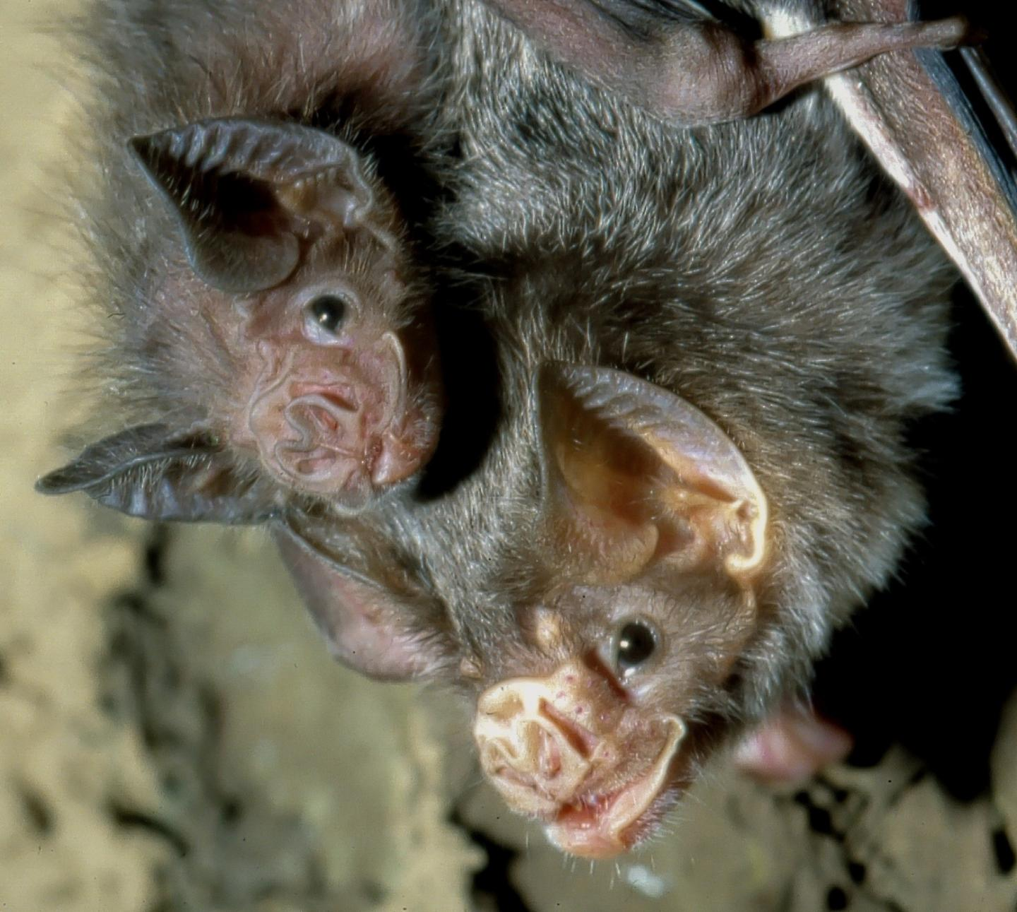 A common vampire bat mother with young. Credit: Uwe Schmidt