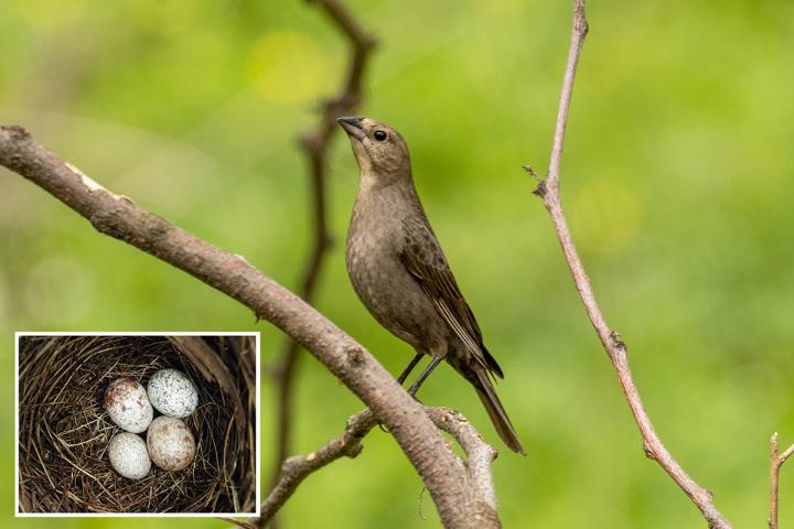 Cowbird moms pay attention to the size of eggs in the nests they choose for egg-laying. Inset: Two cowbird eggs (the two larger ones in the nest of a northern cardinal. Credit: Loren Merrill; Inset photo by Scott Chiavacci