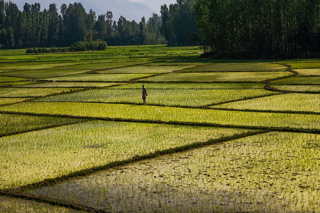 The use of standing water to grow rice in India and Pakistan leads to large water loss. Credit: sandeepachethan/Flickr