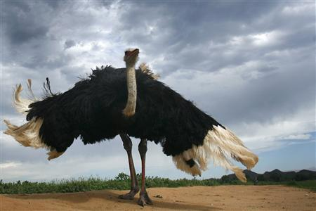 When Ostriches Called India Their Home