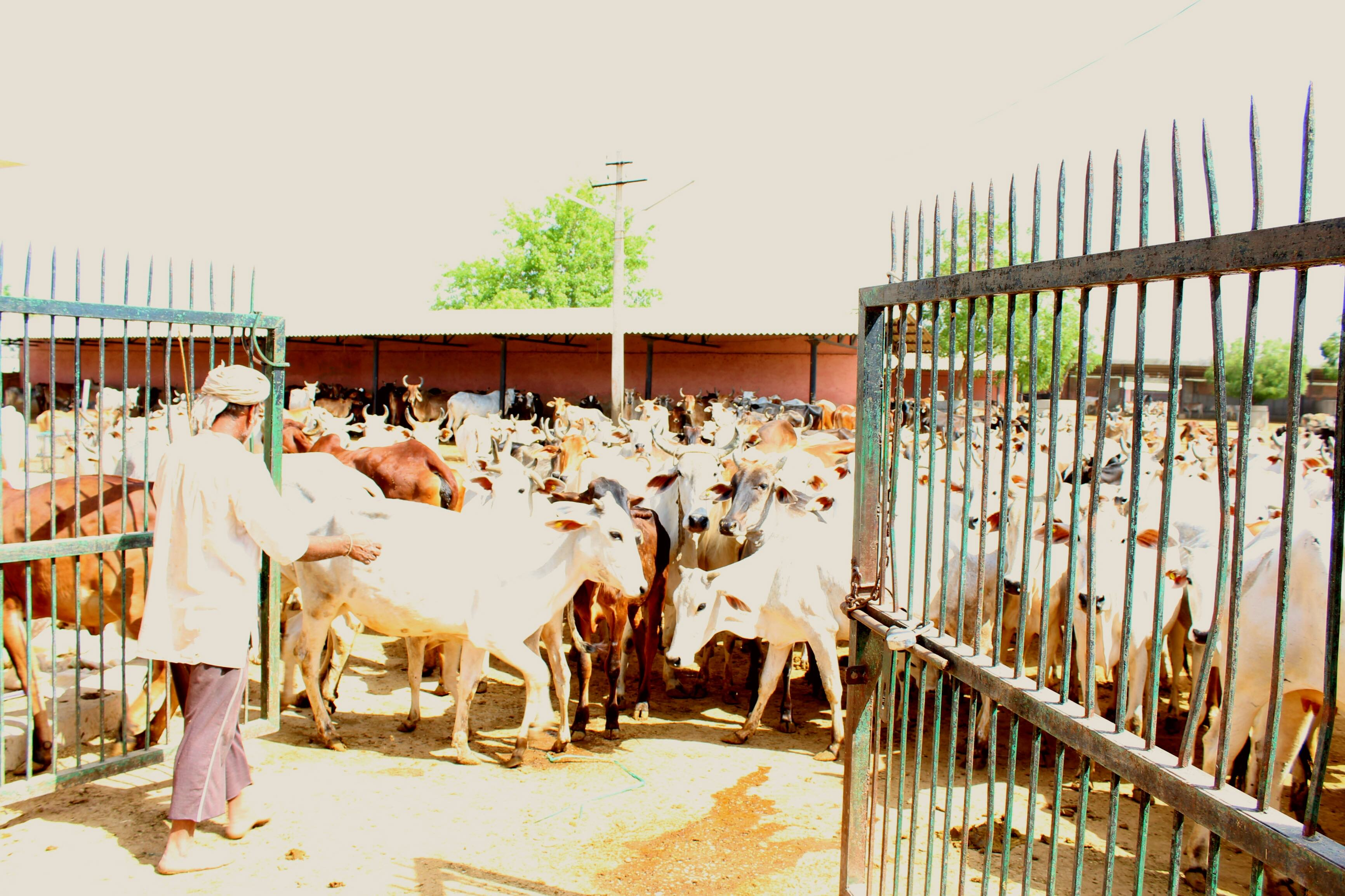 With Jaipur Gaushala in Fund Crunch, Hundreds of Cows Starve to Death