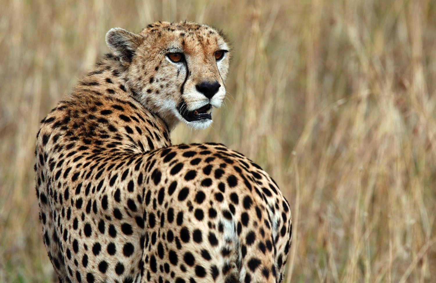 Cheetahs Return to Malawi After Decades