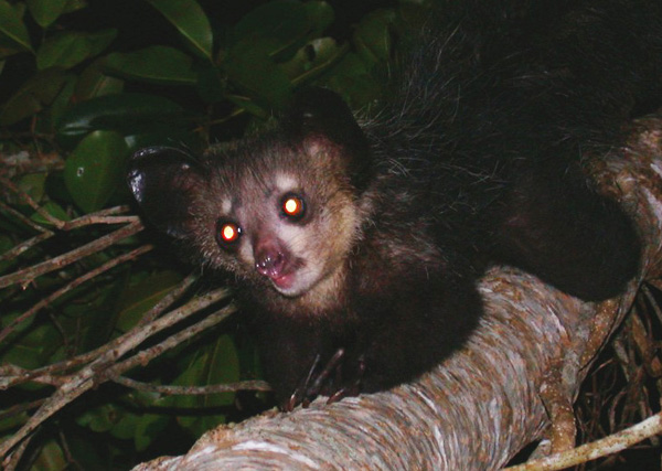 Eyeshine is produced when light is reflected off the tapetum lucidum, a special layer of tissue behind the retina that helps provide night vision for many nocturnal animals. Humans and other primates lack the tapetum lucidum and, thus, eyeshine. Photo is of an aye-aye. Credit: Tom Junek via Wikimedia Commons