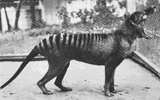 Thylacines could open their mouths 80 degrees. But while their maws were large, their jaws were relatively weak. Credit: Wikimedia Commons