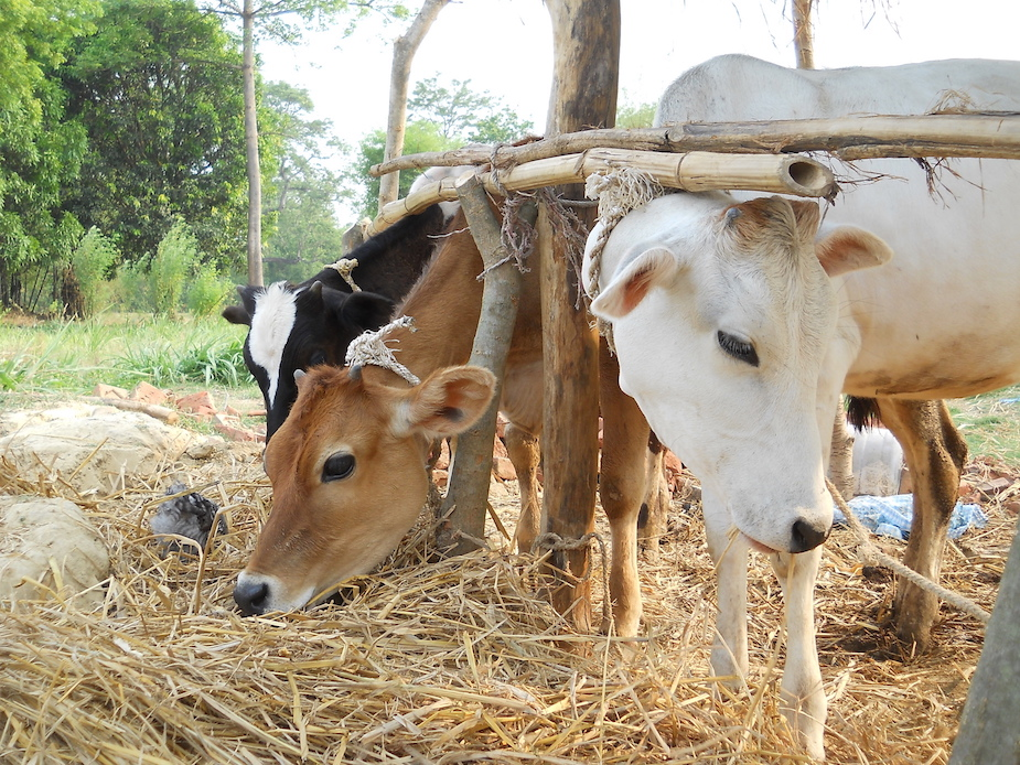 Cow Farming in Arghakhachi, Nepal. Credit: Wikimedia.
