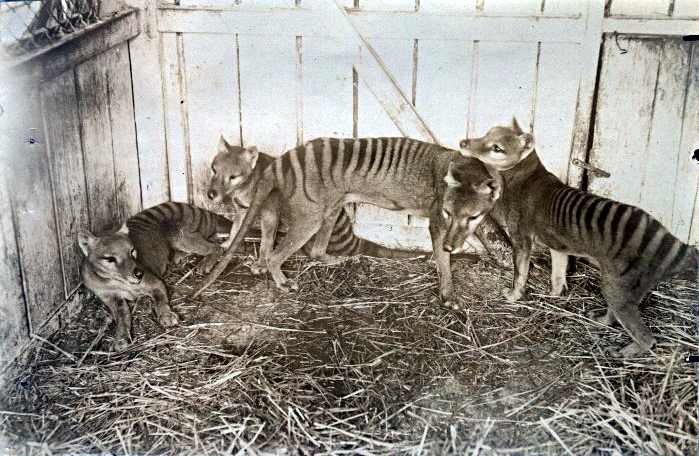 A thylacine family in a zoo in Hobart, Tasmania, 1910. Credit: Wikimedia Commons