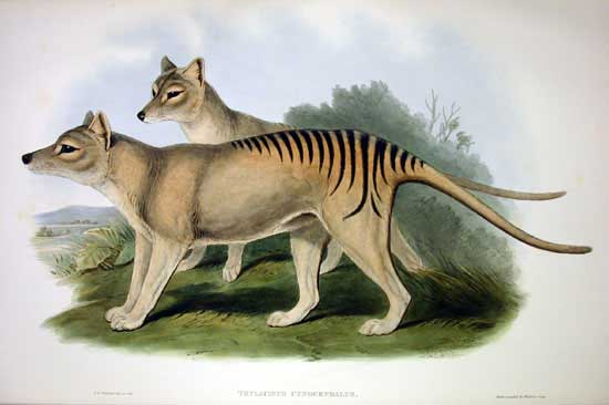 Thylacine Survey: Are We Going to Rediscover the 'Moonlight Tiger'?