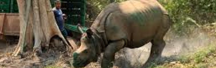 The Challenges of Reintroducing Rhinos to India's Parks