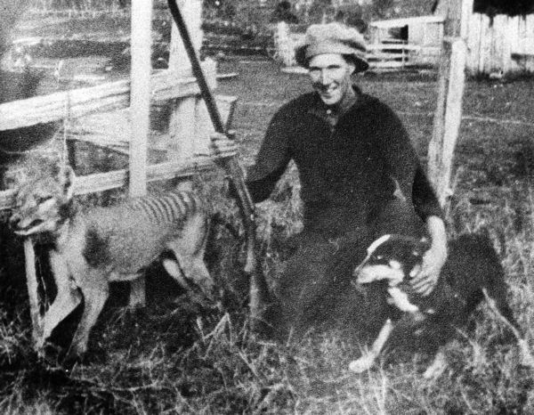 The last thylacine killed in the wild was reportedly shot by farmer Wilf Batty in 1930. In the unlikely event of a thylacine rediscovery, researchers say they hope the government would enact swift, strict protections. Credit: Wikimedia Common