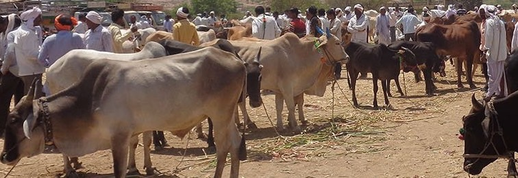 The Beef Ban Has Killed Cattle Markets, Deepening Marathwada's Agrarian Crisis
