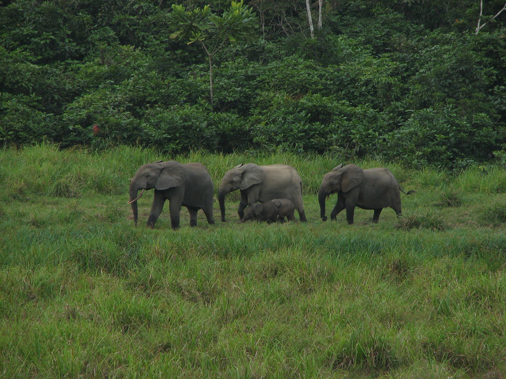 More than 80% of Gabon's forest elephants were killed between 2004 and 2014. Credit: Flickr/Jefe Le Gran