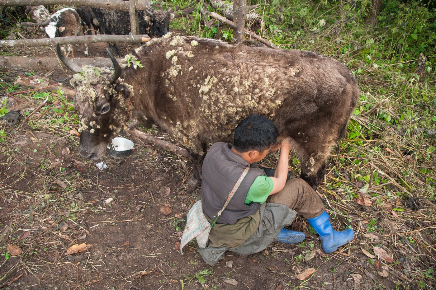 Pem Tsering milking a yak in a high altitude forest in West Kameng district. These animals are actually a hybrid of yaks and other species of cattle, and are called dzo. The Brokpa milk them twice a day. Credit; Ritayan Mukherjee