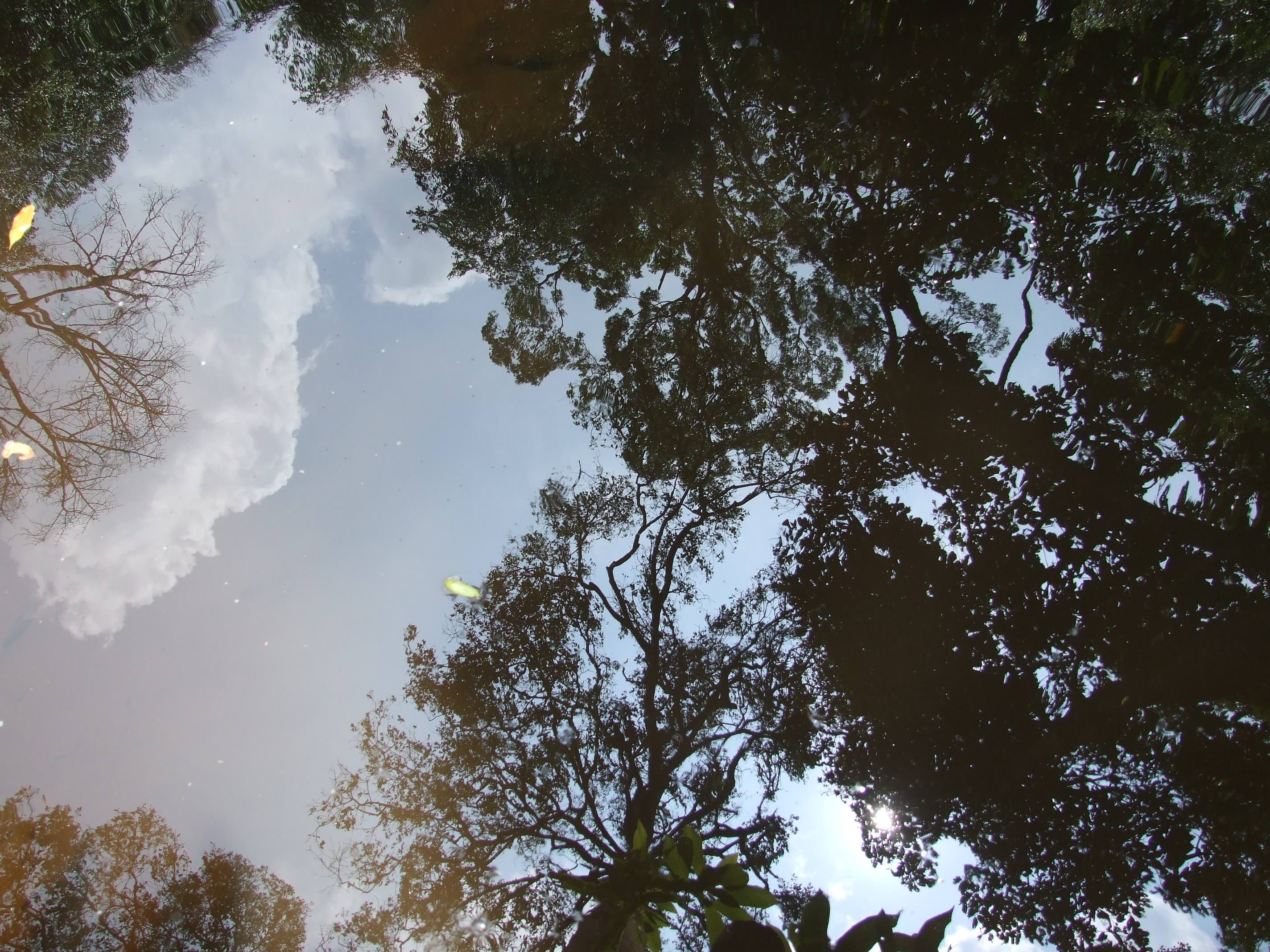 A reflection of the rainforest canopy. Credit: Nisarg Prakash